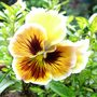 Pansy_rococco_4