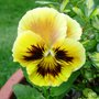 Pansy Rococco