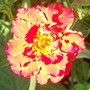 A garden flower photo (Geum reptans)
