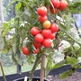 tomato 'Glacier' in October  (is very  resistant to diseases from  wet weather)