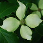 Cornus Kousa.. (Cornus kousa (Dogwood) Bultnicks Beauty)