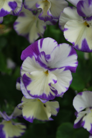 Viola Rebecca... Thanks to Cinders for reminding me ...... (Viola Rebecca.)