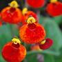 Calceolaria Sunset Orange. (calceolaria Sunset Orange.)