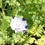 Nemophila Purple spot