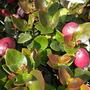 Carissa macrocarpa - Natal Plum Fruits (Carissa macrocarpa - Natal Plum)