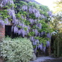 More Wisteria, Variegated Philadelphus and White Lilac
