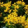 Peltophorum pterocarpum - Yellow Poinciana Flowers (Peltophorum pterocarpum - Yellow Poinciana)