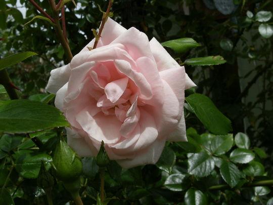Rosa  '  New Dawn  '
