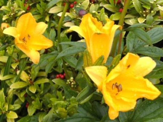 Lilies in the north facing border 3