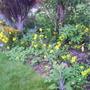front_garden_wallflowers_been_in_three_yrs_livingstone_daisy.jpg