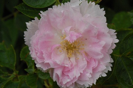 Rosa 'Fimbriata' (shrub rose) (Rosa)