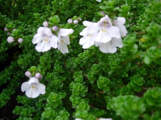 Prostanthera Cuneata (Prostanthera Cuneata)