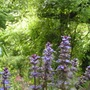 Ajuga_reptans_evening_glow_