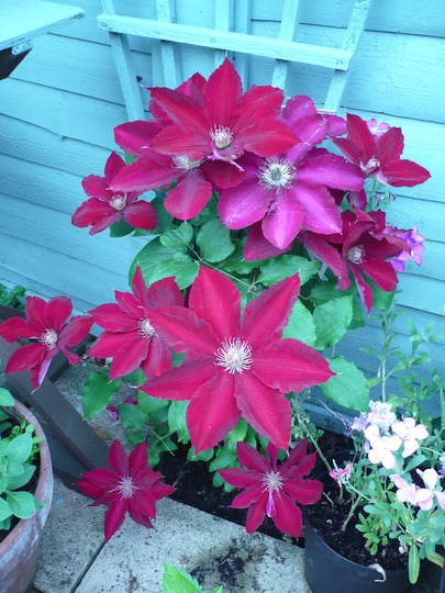 "Clematis "" Rebecca"""