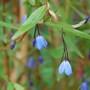 Bluebell Creeper  (Sollya heterophylla (Bluebell Creeper))