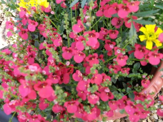 Diasica Cranberry Red