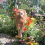 dandie the lion
