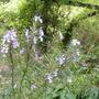 Rosmarinus_officinalis_sissinghurst_blue_