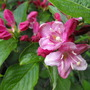Weigela Flowers & Buds