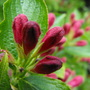 Flower Buds Of My Weigela
