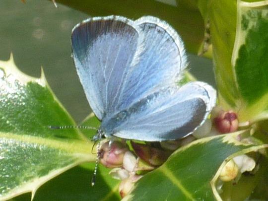 holly blue...