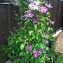 my 2 clematis