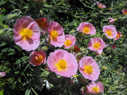 """Rock Rose """"Ground Cover"""""""