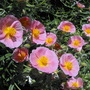 "Rock Rose ""Ground Cover"""