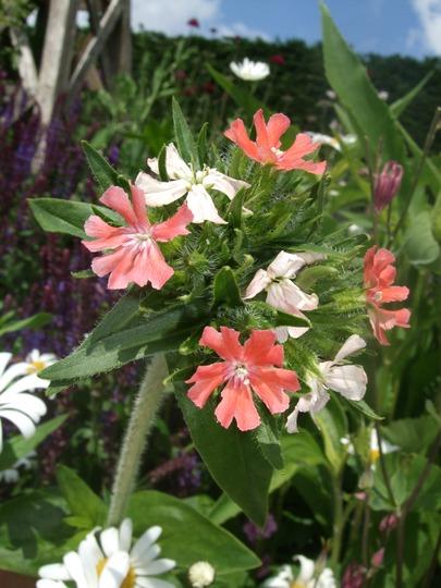 Lychnis chalcedonica 'Dusty Pink' (Lychnis chalcedonica (Jerusalem cross))