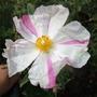 Cistus x argenteus ventnorensis  'Mr Stripey' (Cistus x argenteus (Rock rose))
