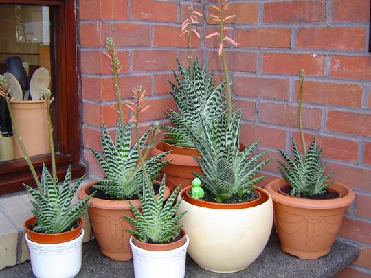 aloe variegata (Aloe variegata (Partridge-breasted aloe))