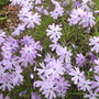 Phlox (variety unknown)