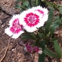 red and white (Dianthus)