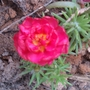 red beauty (Sesuvium portulacastrum (Platanillo))