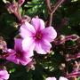 geranium_maderense.jpg (geranium maderense)