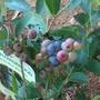 tasty blueberries (Vaccinium corymbosum (Blueberry))