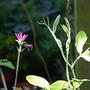 'Pauline's' Geranium & sweet pea frond  (geranium)