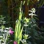 Sisyrinchium striatum (Sisyrinchium striatum)