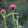 Cirsium rivulare 'Atropurpureum, Ornamental Thistle (Cirsium rivulare 'Atropurpureum')