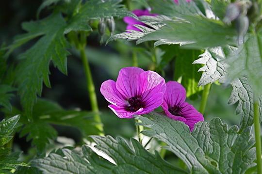 Hardy geranium  (Geranium psilostemon 'Bressingham Flair')