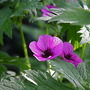 Hardy geranium  (Geranium psilostemon &#x27;Bressingham Flair&#x27;)
