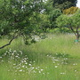 Orchard meadow at Greys Court  (Malus)