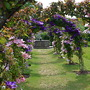 Clematis &amp; crab apple arbour  (malus, clematis)