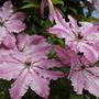 Pink clematis in Greys Court clematis arbor  (clematis)