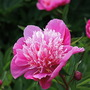Frosted pink peony, Greys Court peony border  (paeonia)