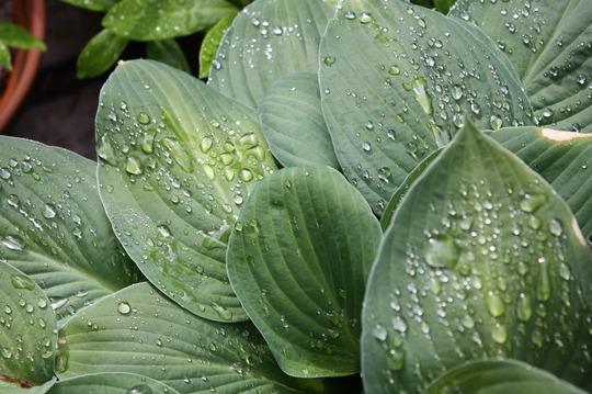Hostas after rain  (hosta)