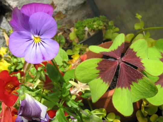 Viola n Oxalis