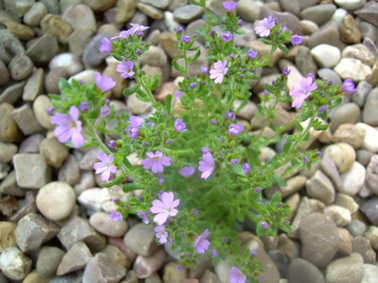 Erinus alpinus (Fairy Foxglove, Starflower)  (Erinus alpinus)