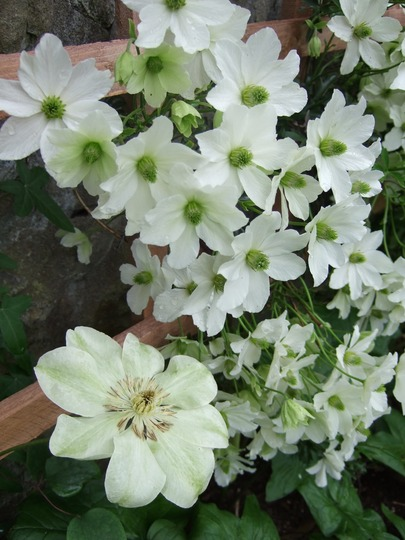 Two Clematis together.