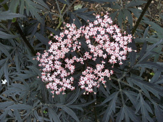Sambucus  '  Black Lace  '